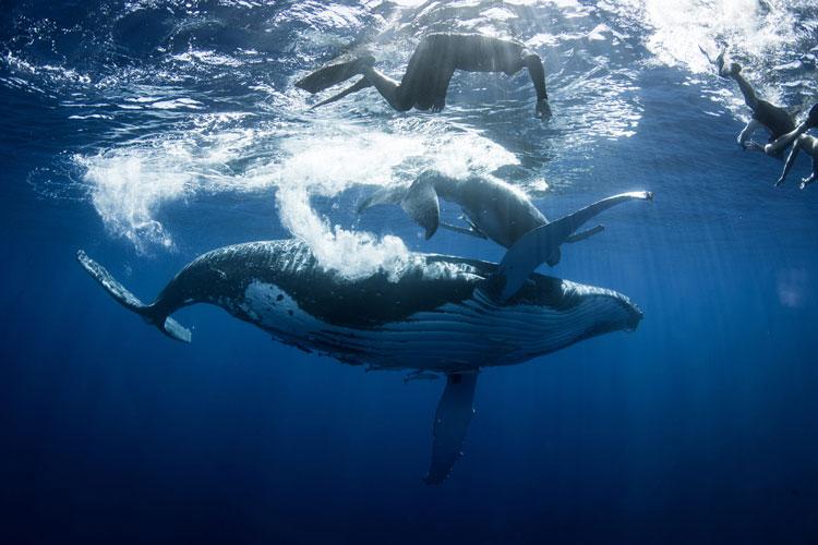 tonga whales swimmers